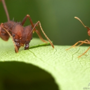 A. sexdens - forager-excavators & specialist on leaf - fot. Alex Wild