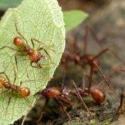 Atta sp - forager-excavators & specialists riding on leaf - fot. Alex Wild