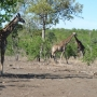 Żyrafy w zaroślach Mopane - Kruger National Park