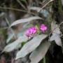 Jeden z najbardziej pospolitych storczyków występujących w Kolumbii - Comparettia falcata